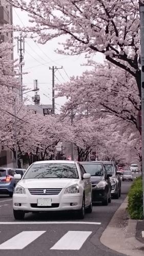 通勤路の桜並木