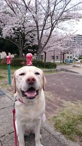 はみちゃんとお花見散歩
