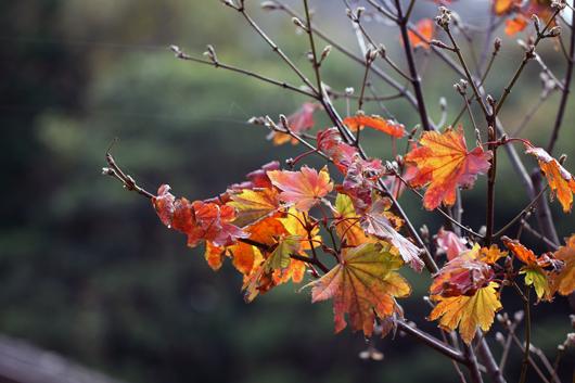 12_紅葉の季節も終盤です