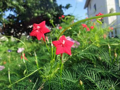 星形赤小花