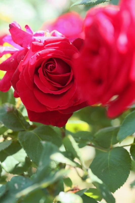 Rosa Liebeszauber