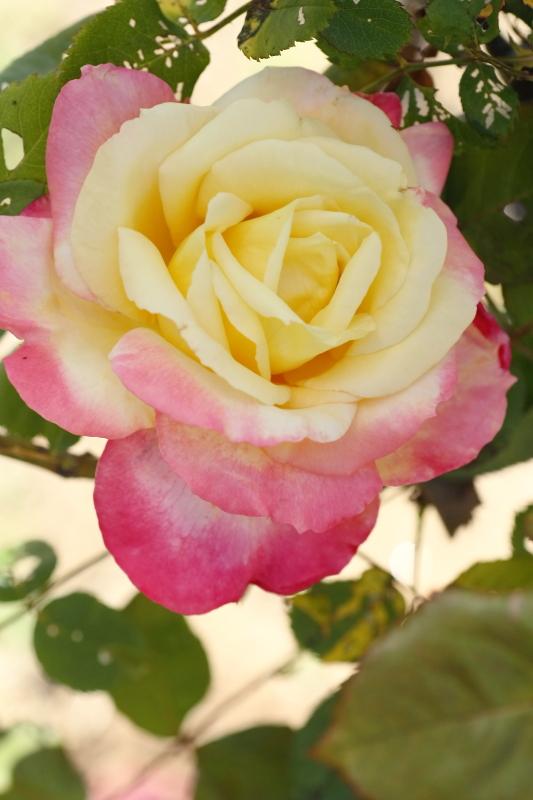 Rosa French Perfume