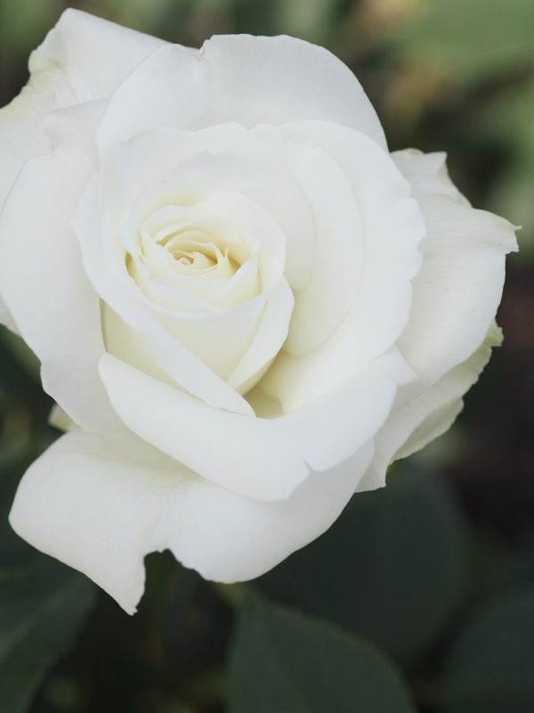 Rosa'Yuki San'