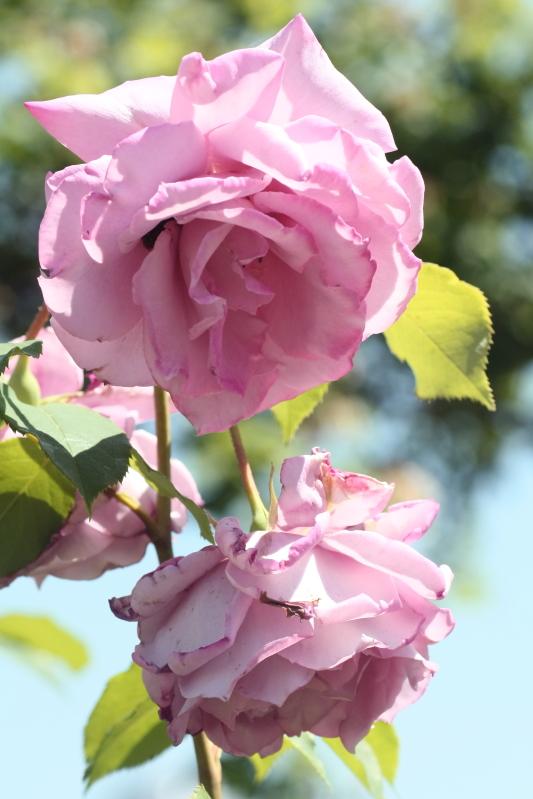Rosa 'Murasakino'