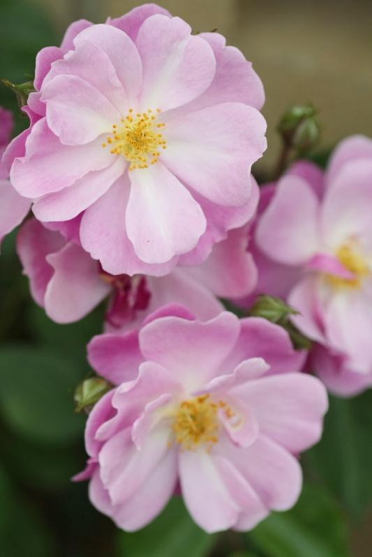 Rosa Lavender Dream