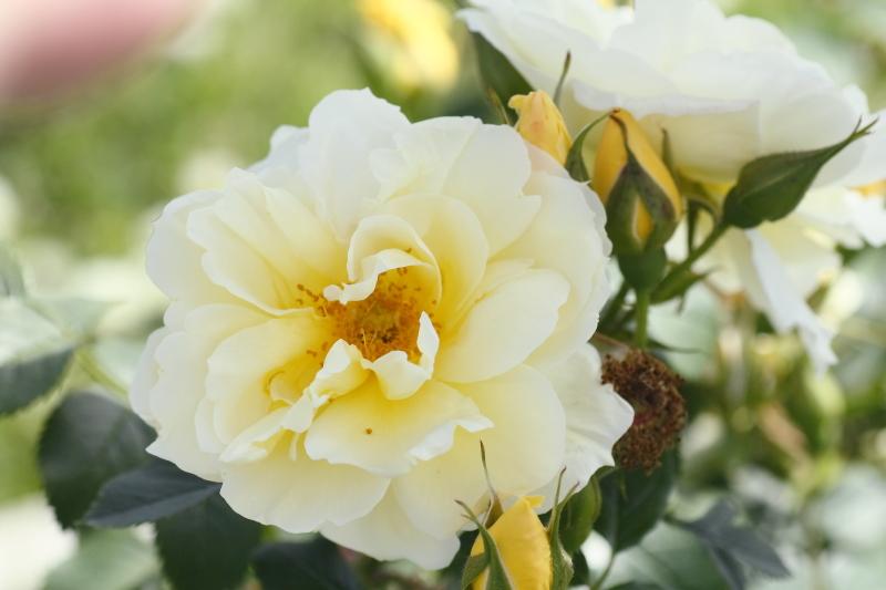 Rosa Gelbe Dagmar Hastrup