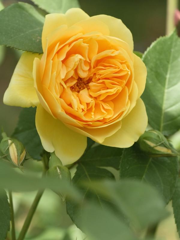 Rosa Francois Jurenville