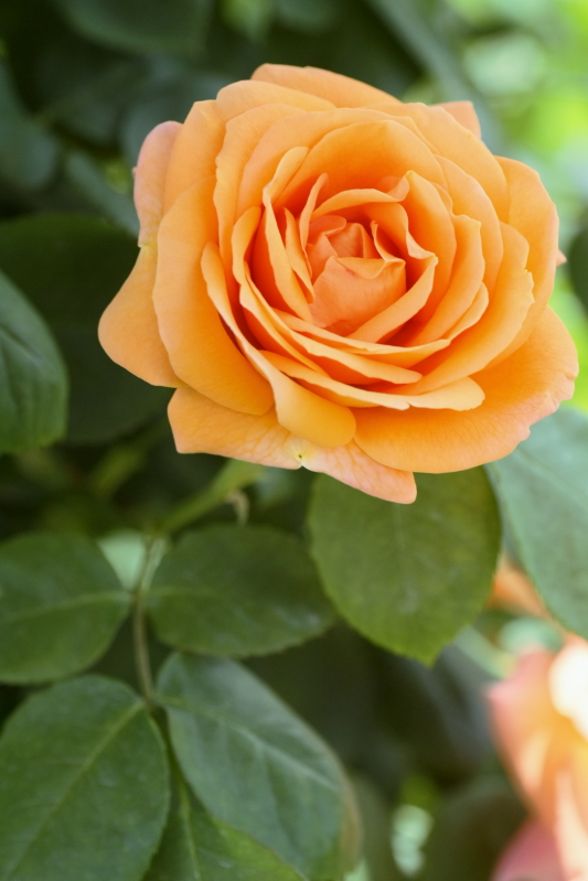 Rosa Looping