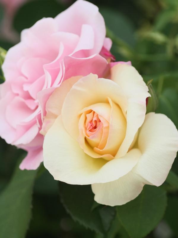 Rosa Schneewalzer