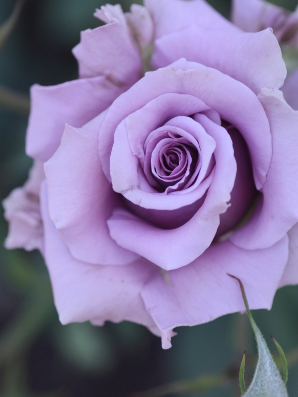 Rosa Sweet Moon
