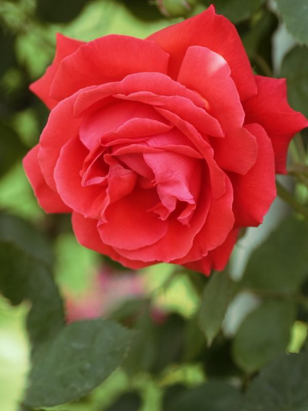 Rosa'Honoho-no-Nami'