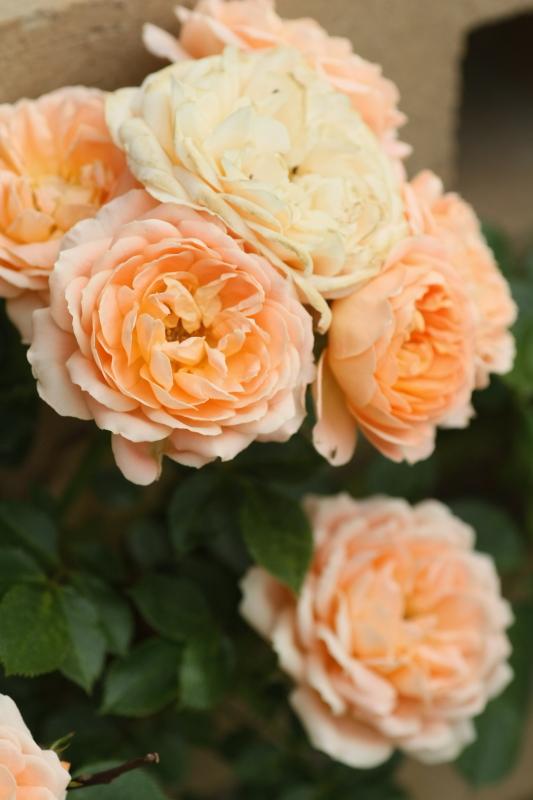 Rosa Sunset Memory
