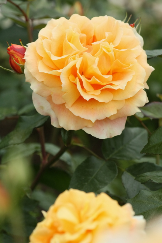 Rosa'Manyō'