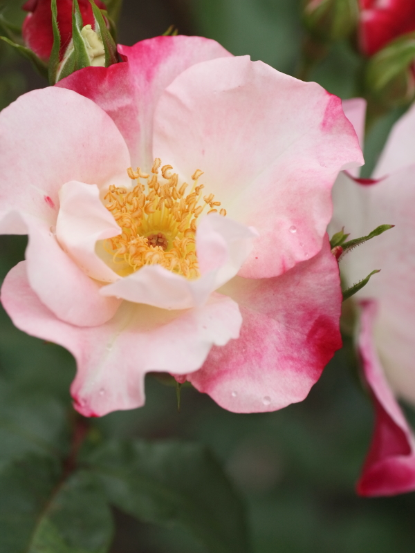 Rosa'Hana-Gasumi'