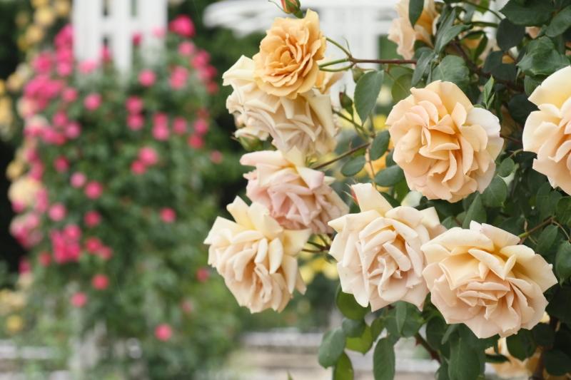 Rosa Butterscotch