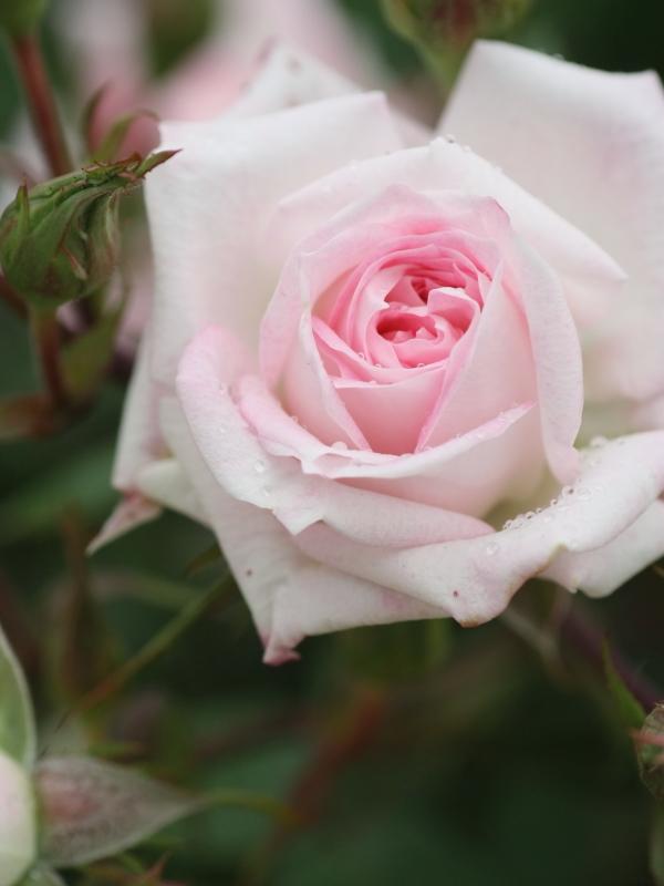 Rosa Swany