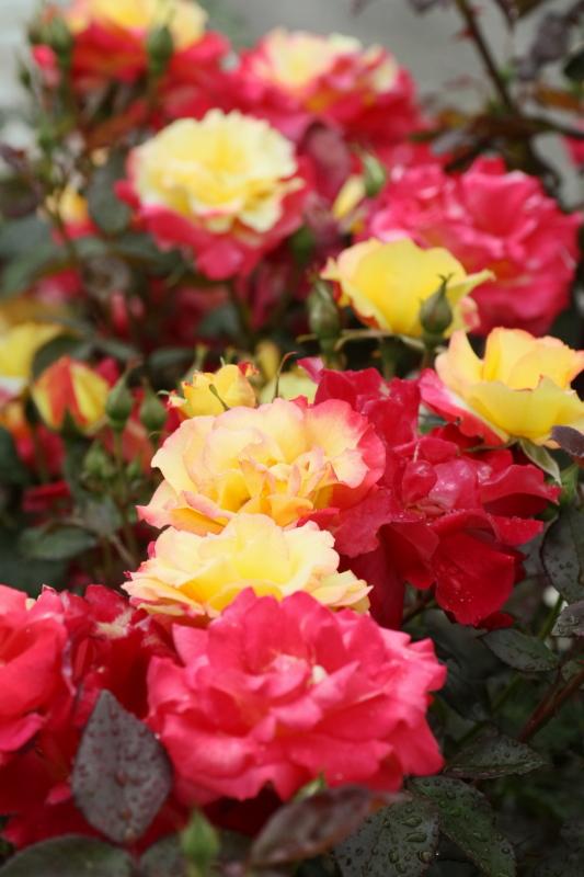Rosa Charleston