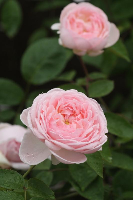 Rosa Eglantine