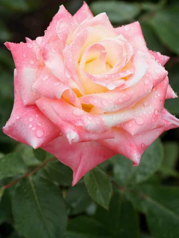Rosa Diana, Princess of Wales