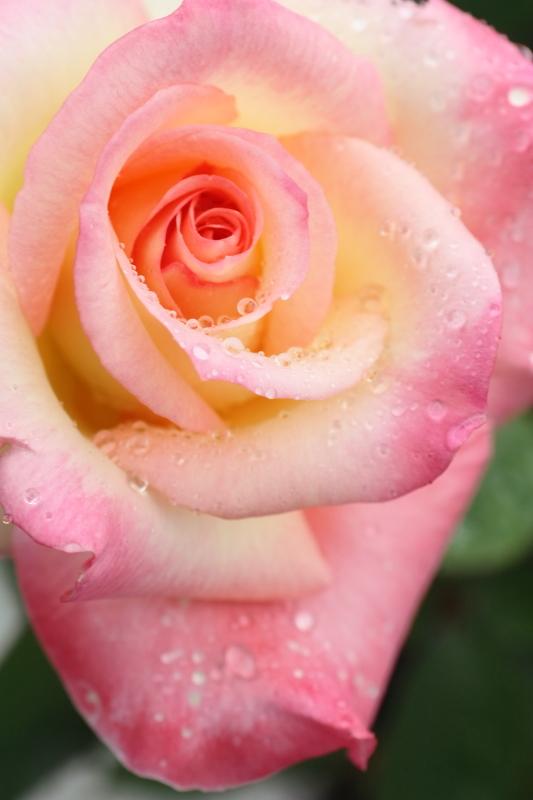 Rosa Diana, Princess of Wales