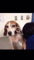 ビーグル犬の写真