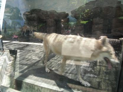 5 昼のオオカミもよく動く
