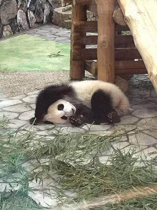 5 パンダの赤ちゃんがすくすく成長・・・