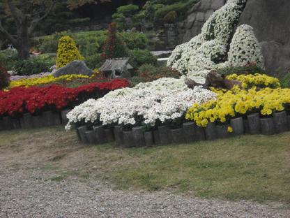 5 美しい菊の植え込み