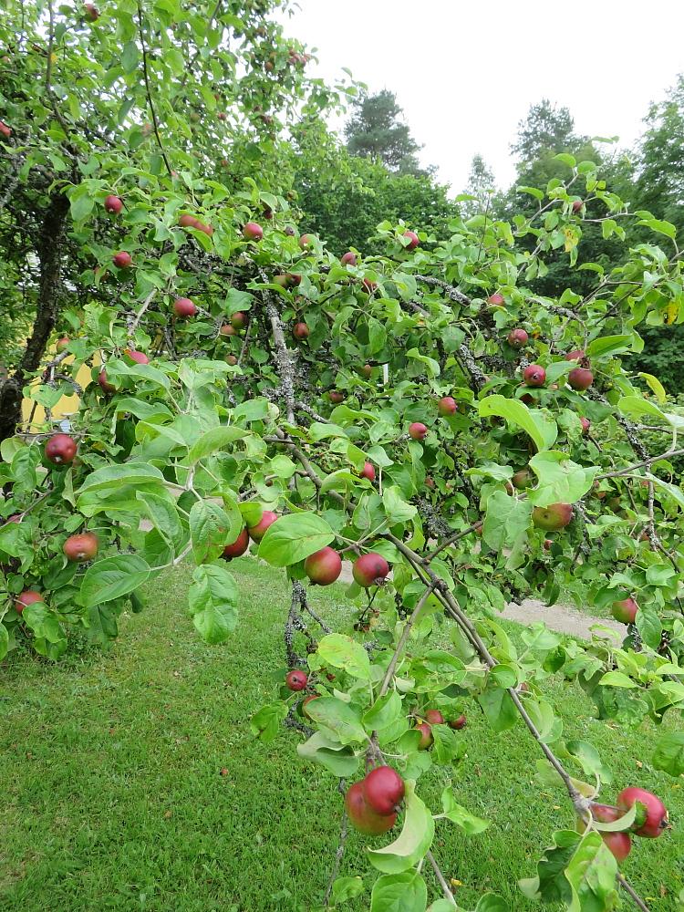 庭のりんご Omena