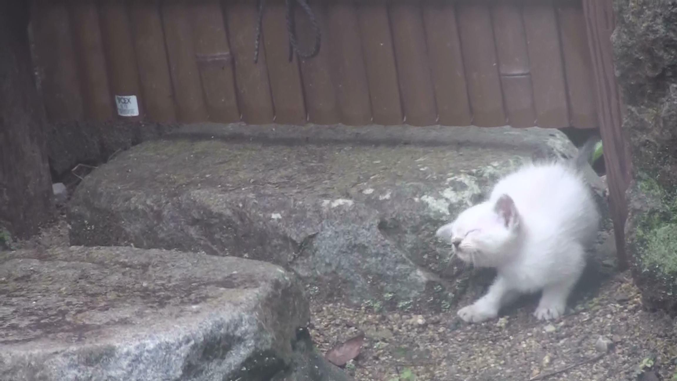 耳を掻く仔猫