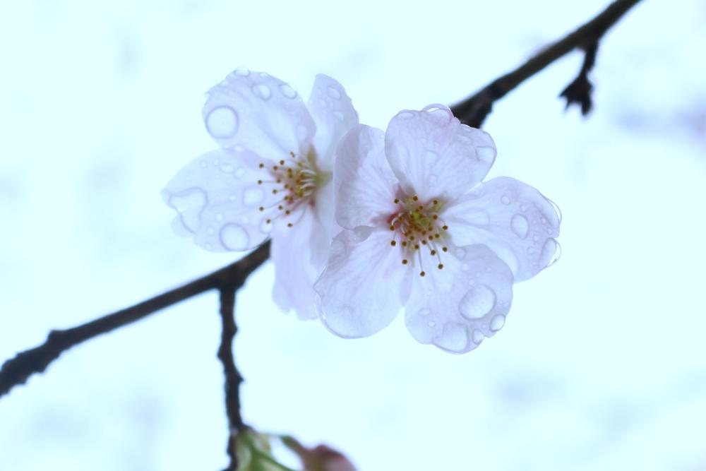 20160403桜UP