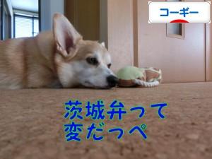 にほんブログ村 犬ブログ コーギーへ