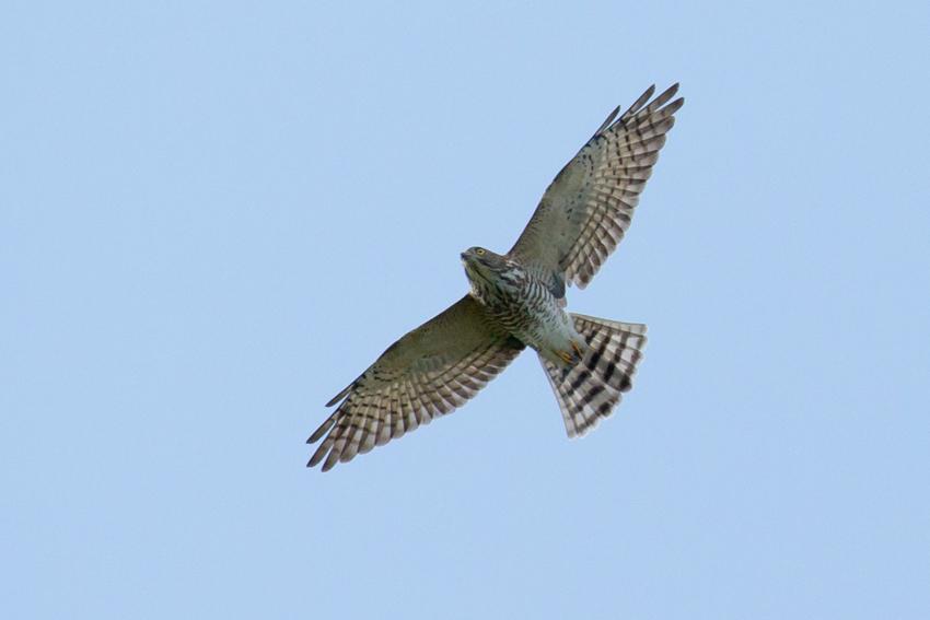 150909アカハラダカ幼鳥