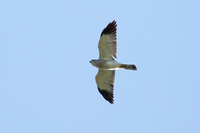 150911アカハラダカオス成鳥1