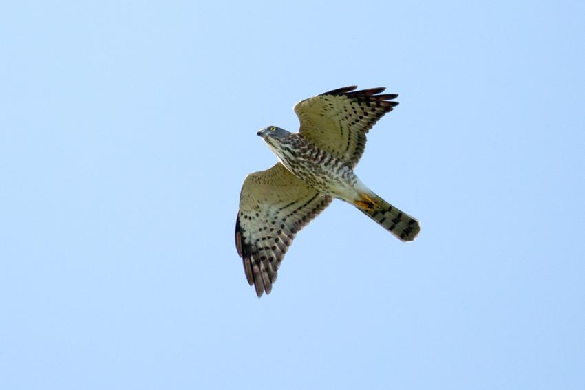150911アカハラダカ幼鳥2