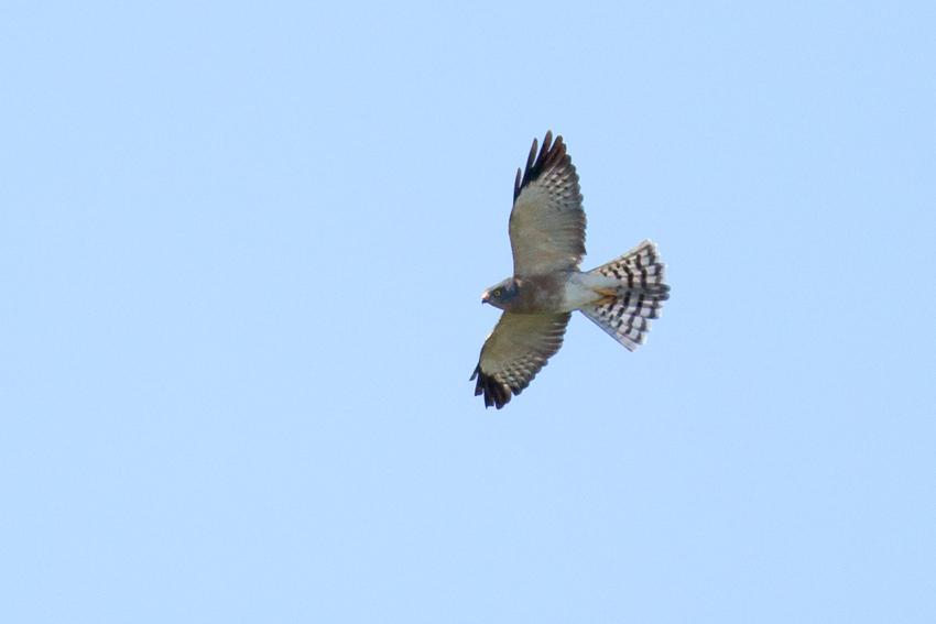 150913アカハラダカメス成鳥.