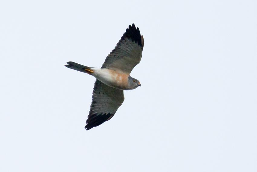 150914アカハラダカメス成鳥