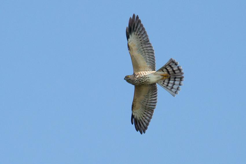 150919アカハラダカ幼鳥