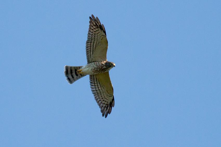 150923アカハラダカメス幼鳥1