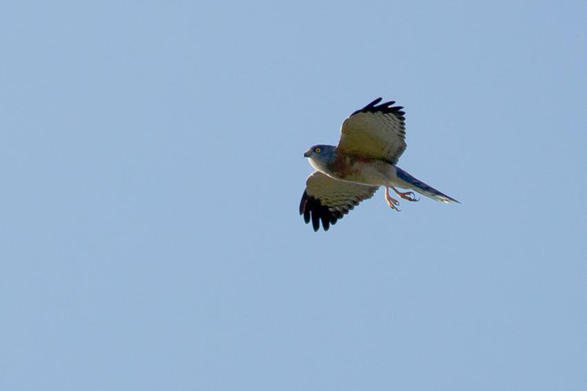 150923アカハラダカメス成鳥