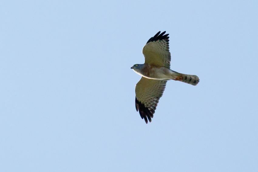 150923アカハラダカメス成鳥2