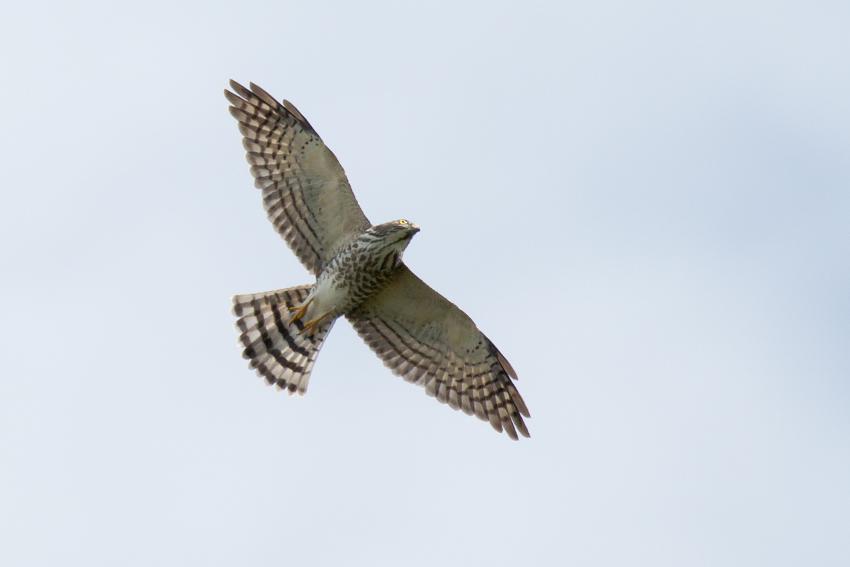 151008アカハラダカ幼鳥
