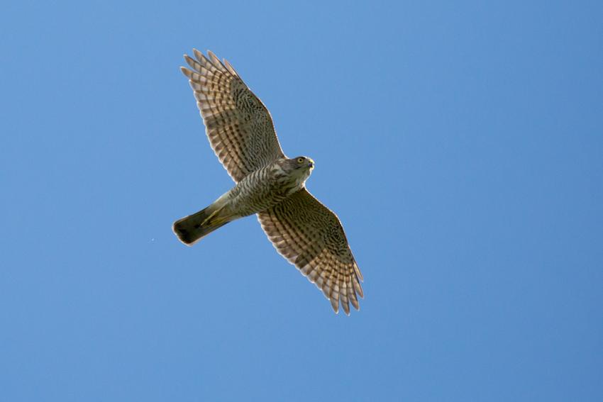 150930ツミ幼鳥