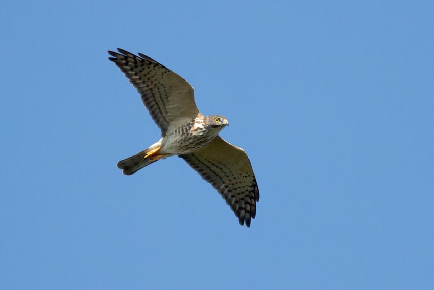 151015アカハラダカ幼鳥