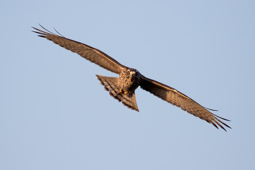 151101サシバ幼鳥