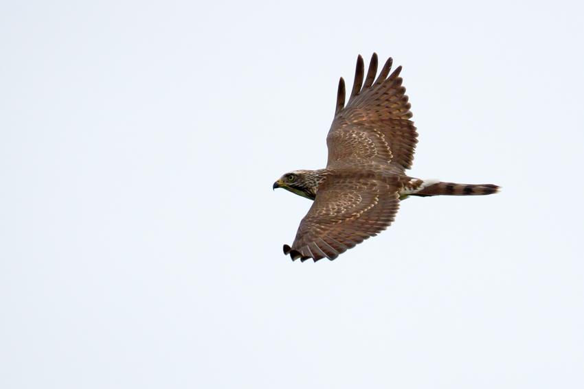 151103サシバ幼鳥3