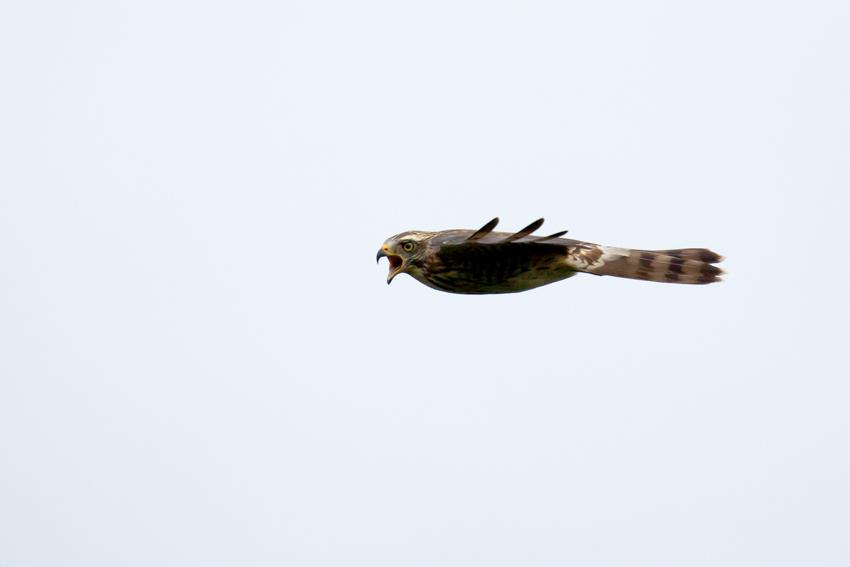 151103サシバ幼鳥4