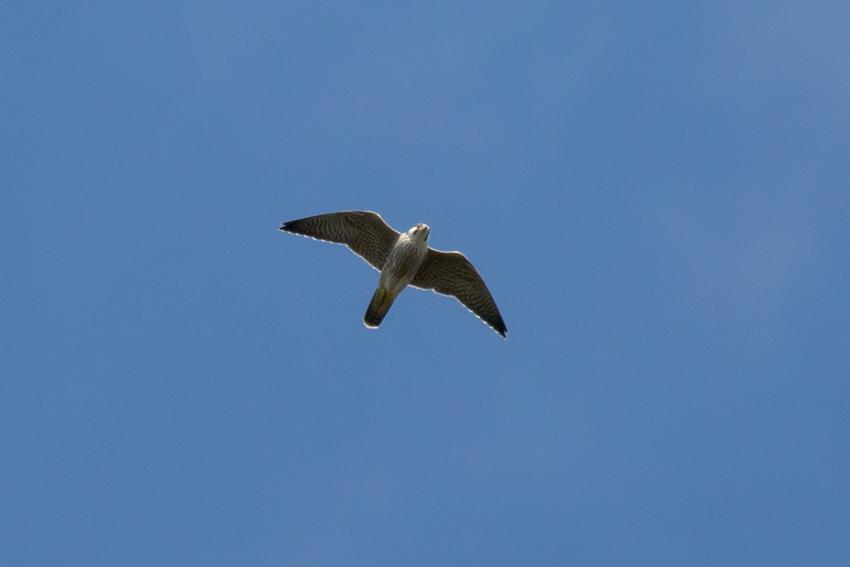 151107ハヤブサ幼鳥