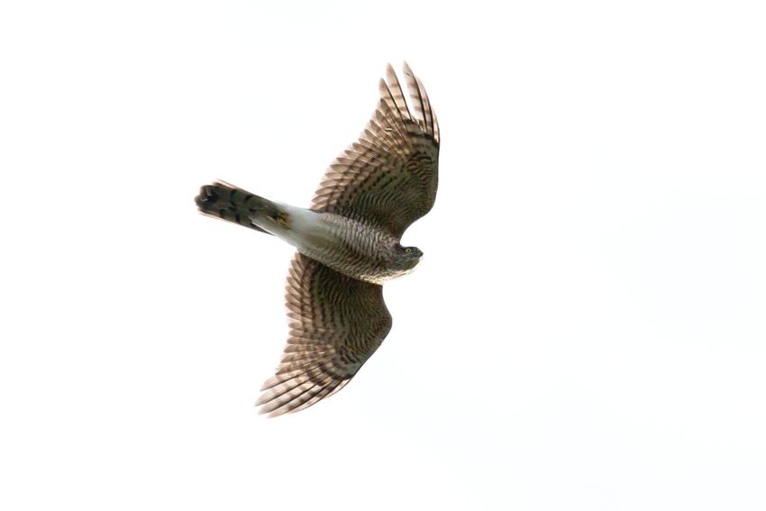151115ハイタカ幼鳥