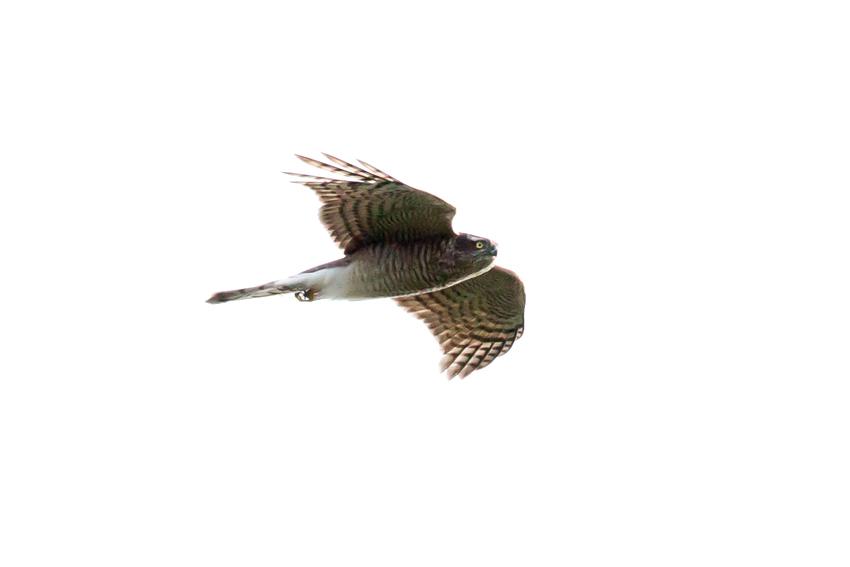 151115ハイタカ幼鳥2